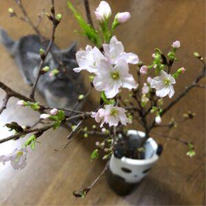 啓翁桜〜春の訪れ